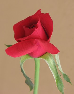 Photograph of a rose